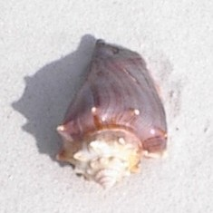 a common but delightful shell